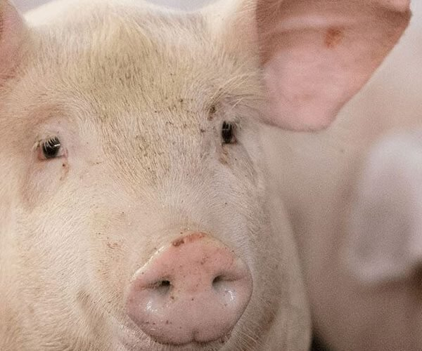 swine_square